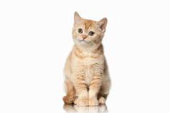 Cat. Small red british kitten on white background. Small red british kitten on white background Royalty Free Stock Photos