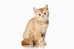 Cat. Small red british kitten on white background. Small red british kitten on white background Royalty Free Stock Images