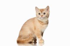 Cat. Small red british kitten on white background. Small red british kitten on white background Stock Image