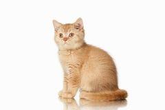 Cat. Small red british kitten on white background. Small red british kitten on white background Stock Photos