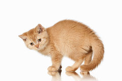 Cat. Small red british kitten on white background. Small red british kitten on white background Stock Images