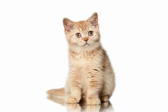 Cat. Small red british kitten on white background Royalty Free Stock Image