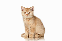 Cat. Small red british kitten on white background. Small red british kitten on white background Royalty Free Stock Photography