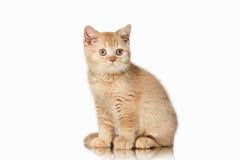 Cat. Small red british kitten on white background Stock Photo