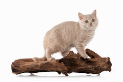 Cat. Small red cream british kitten on white background Royalty Free Stock Photo