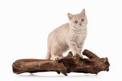 Cat. Small red cream british kitten on white background Royalty Free Stock Image
