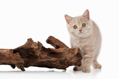 Cat. Small red cream british kitten on white background Royalty Free Stock Photos