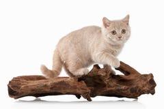 Cat. Small red cream british kitten on white background Royalty Free Stock Photo