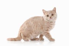 Cat. Small red cream british kitten on white background Stock Photography