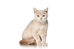 Cat. Small red cream british kitten on white background Royalty Free Stock Images