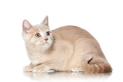 Cat. Small red cream british kitten on white background Royalty Free Stock Photos