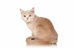 Cat. Small red cream british kitten on white background Royalty Free Stock Photography