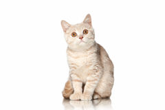 Cat. Small red cream british kitten on white background Royalty Free Stock Image