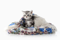 Cat. Small silver british kitten on white background Stock Photo