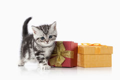 Cat. Small silver british kitten on white background Royalty Free Stock Photo