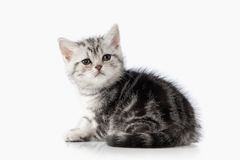Cat. Small silver british kitten on white background Stock Photo