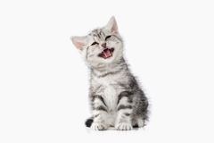 Cat. Small silver british kitten on white background Stock Photos