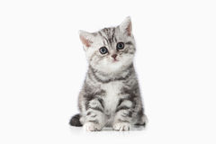 Cat. Small silver british kitten on white background. Small silver british kitten on white background Royalty Free Stock Photos