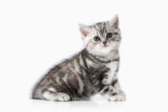 Cat. Small silver british kitten on white background Royalty Free Stock Photography