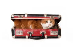 Cat in a small suitcase. Senior cat, hiding in a small suitcase. isolated on white royalty free stock photo