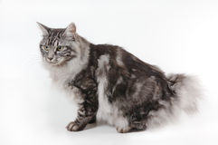Cat with small tail Stock Photography