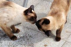 Cat, Small To Medium Sized Cats, Cat Like Mammal, Siamese Royalty Free Stock Photos