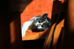 Cat, Small To Medium Sized Cats, Cat Like Mammal, Whiskers royalty free stock photography
