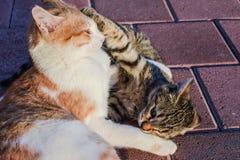 Cat, Small To Medium Sized Cats, Fauna, Dragon Li Stock Photography