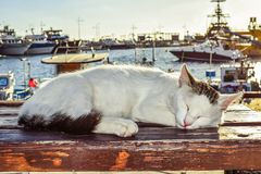 Cat, Small To Medium Sized Cats, Whiskers, Cat Like Mammal Royalty Free Stock Image