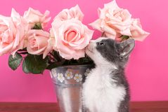 Cat smelling flower roses on a wooden table and pink background Royalty Free Stock Photography