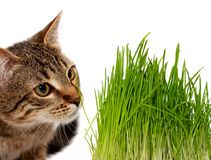 Cat smelling a green grass Royalty Free Stock Photography