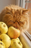Cat smelling and Licking apples Stock Photo