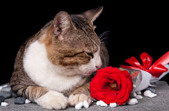 Cat smelling red Rose with black background. Picture of Cat smelling red Rose with black background Royalty Free Stock Photo