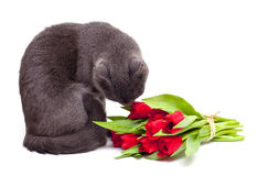 Cat is smelling red tulips Stock Images