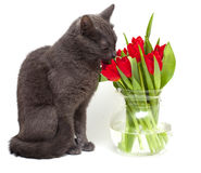 Cat smelling red tulips in vase Stock Photo