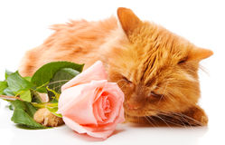 Cat smelling a rose Royalty Free Stock Image