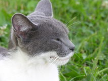 Cat with a smile. A profile of a grey and white tom cat Stock Photo