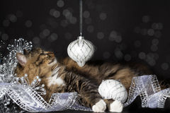 Cat Smiling at Christmas Ornament. A brown tabby cat with white paws and chest looking at silver Christmas ornament hanging above. silver ribbon curled in stock images