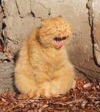Cat Smiling E royalty-vrije stock foto