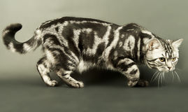 Cat sneaking. A marble british cat secretly sneaking over a grey background Stock Photography