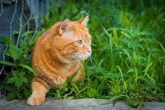 Cat sneaking through the grass. Red cat sneaking through the grass. Selective focus Stock Photo