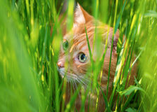 Cat sneaking through the grass. Red cat sneaking through the grass. Selective focus Stock Photos