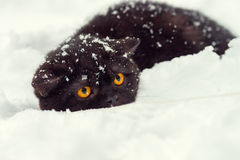Cat sneaking in the snow Royalty Free Stock Photography