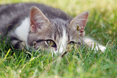 Cat sneaking up to attack to play Stock Image