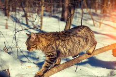 Cat sneaks on a branch in the winter forest. Cute Siberian cat sneaks on a branch in the winter forest Royalty Free Stock Image