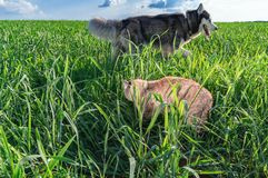 Cat sneaks into tall grass to the dog. Dog looks for the cat. Rear view. Green meadow, blue sky with clouds. Warm evening sunlight. Cat sneaks into tall green stock photo