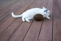 Cat sniffing brown shell coconut on the old deck. White kitty cat layind down on the old deck sniffing a hard brown shell coconut Royalty Free Stock Images