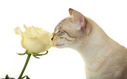 Cat sniffing rose. Cat sniffing a white rose Royalty Free Stock Photo