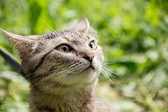 The cat sniffs the air in search of prey. A cat walks in the nature and sniffs in search of prey Stock Photo