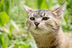 The cat sniffs the air in search of prey. A cat walks in the nature and sniffs in search of prey royalty free stock image
